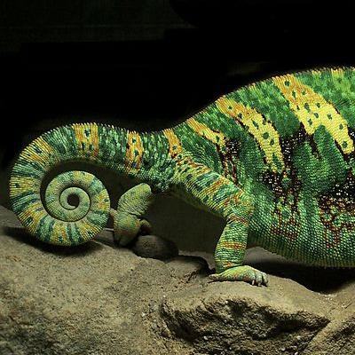 Chameleon_Ft