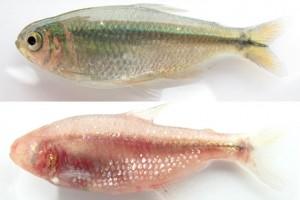 Cavefish