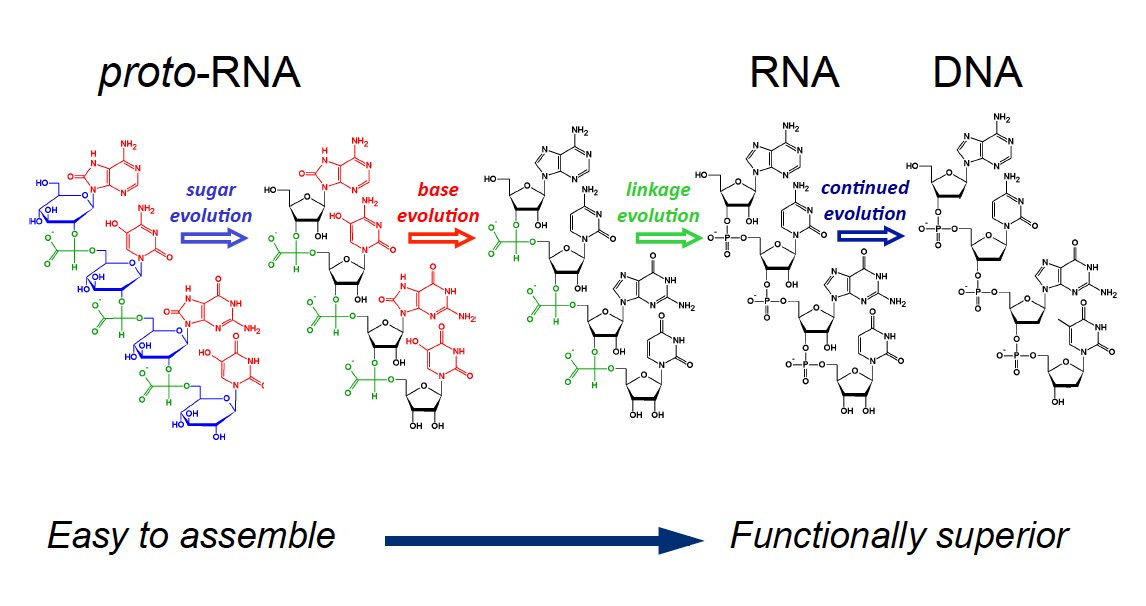 According to the protoRNA theory, each of the components of RNA — sugar, base and phosphate backbone — may have originally taken different forms.