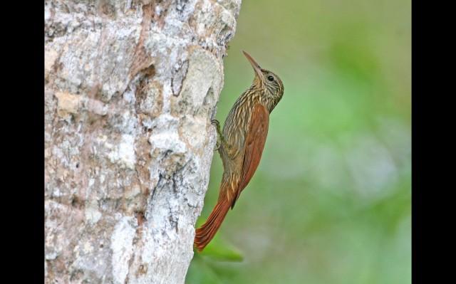 17976_Lepidocolaptes_souleyetii_Gamboa_Panama_resize1