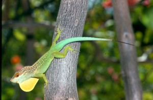 Anolis lizards in the Lesser Antilles tend to be medium-size if they live on an island without lizard competitors, like this Plymouth Anole, but either small or large if two species share an island.