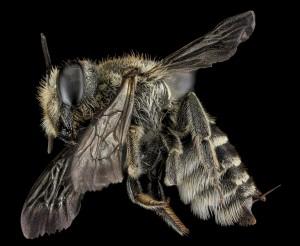 Alfalfa Leafcutter bee.