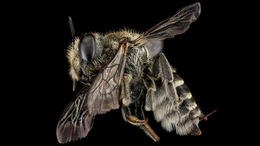 By comparing the genomes of social and solitary bees, scientists hope to uncover the basis for communal behavior.