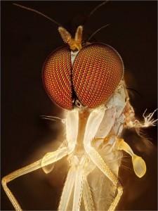 Dolichopodidae Fly