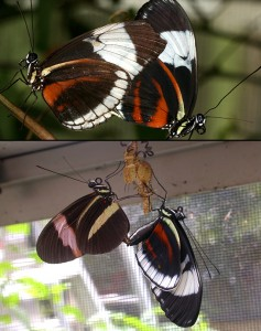 Cydno Longwing and Common Postman butterflies.