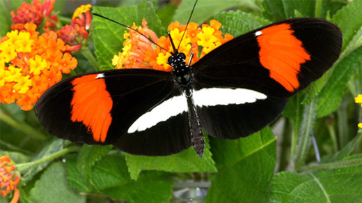 Despite swapping DNA through interbreeding, butterflies and other animals can maintain distinct species.