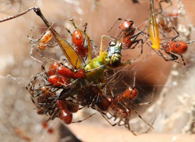 Elusive Form of Evolution Seen in Spiders