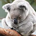 KoalaFeatured