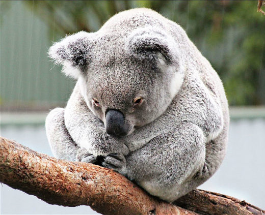 An infection sweeping through Australia's struggling koala population provides an unprecedented opportunity to explore how retroviruses insert themselves into the genome.