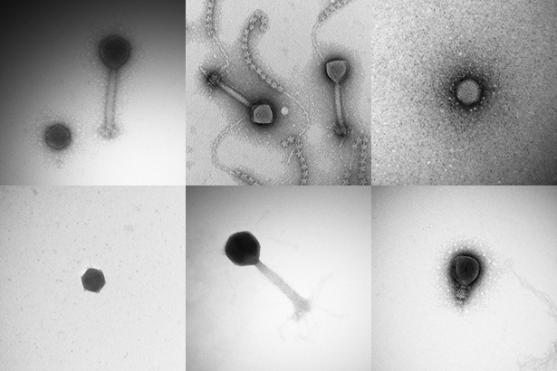 A few of the more than 5,000 viruses discovered during the Tara Oceans Expedition.