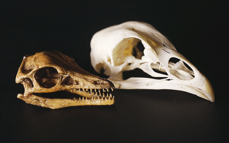 How Birds Evolved From Dinosaurs | Quanta Magazine