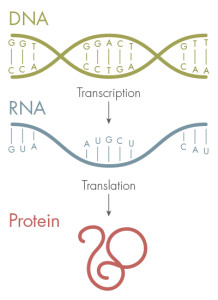 The genetic code — made up of the four letters, A, T, G and C — stores the blueprint for proteins. DNA is first transcribed into RNA and then translated into proteins, which fold into specific shapes.