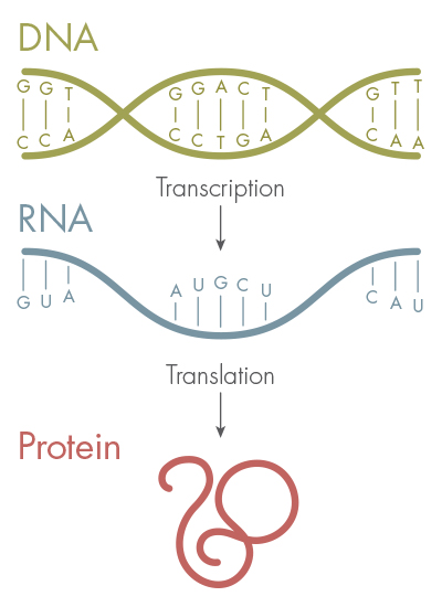 New letters added to the genetic alphabet quanta magazine the genetic code made up of the four letters a t g and c stores the blueprint for proteins dna is first transcribed into rna and then translated malvernweather Choice Image