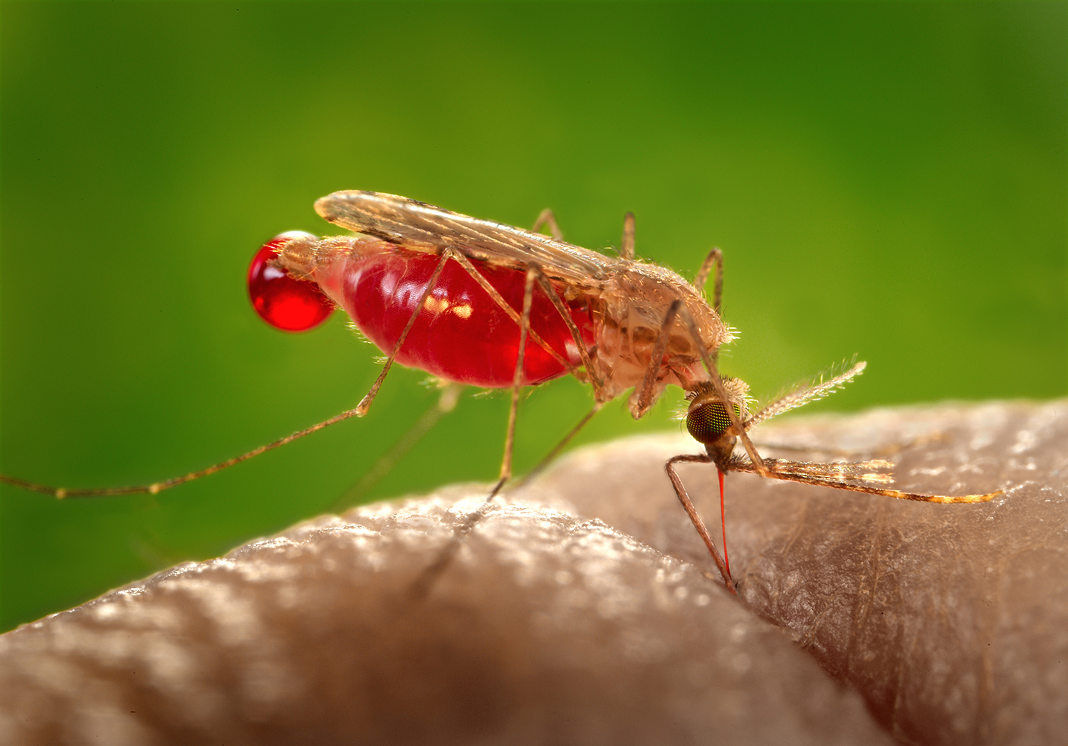 The Anopheles gambiae mosquito transmits the world's most dangerous malaria parasite, which kills 600,000 people a year.