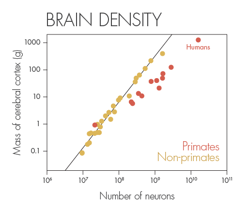 How does the number of neurons in the cerebral cortex vary with the size of that part of the brain? Different scaling rules apply. In rodents, a 10-fold increase in the number of cortical neurons leads to a 50-fold increase in the size of the cortex. In primates, by contrast, the same neural increase leads to only a 10-fold increase in cortex size — a far more economical relationship.