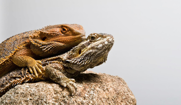 The bearded dragon has been made to lose its sex chromosome in only a single generation.