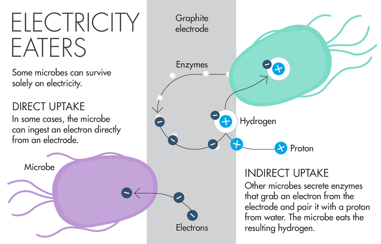 Electricity Eaters Some microbes can survive solely on electricity. Direct Uptake In some cases, the microbe can ingest an electron directly from an electrode. Indirect Uptake Other microbes secrete enzymes that grab an electron from the electrode and pair it with a proton from water. The microbe eats the resulting hydrogen.