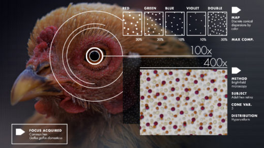 Scientists are exploring a mysterious pattern, found in birds' eyes, boxes of marbles and other surprising places, that is neither regular nor random.