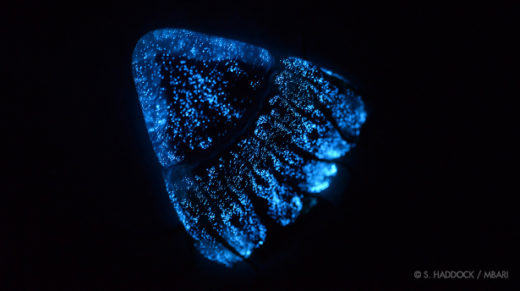 The helmet jellyfish (Periphylla periphylla) uses bioluminescence for defense.