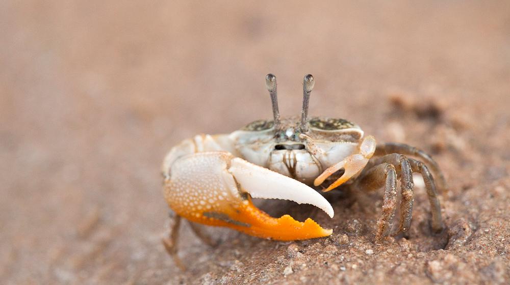 Uca vocans - fiddler crab