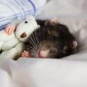 Rat_Ft