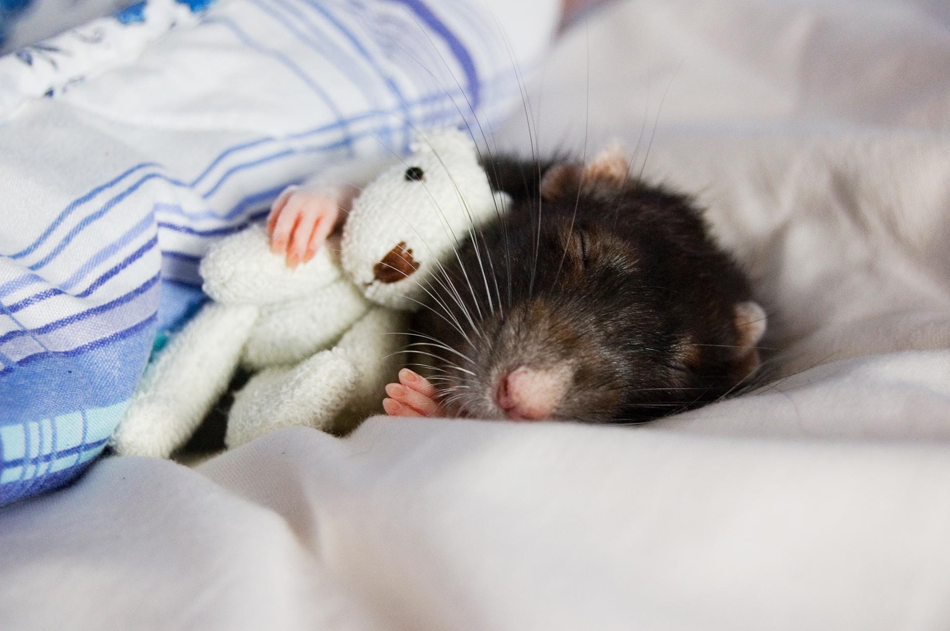 Photo of a sleeping rat with a teddy bear