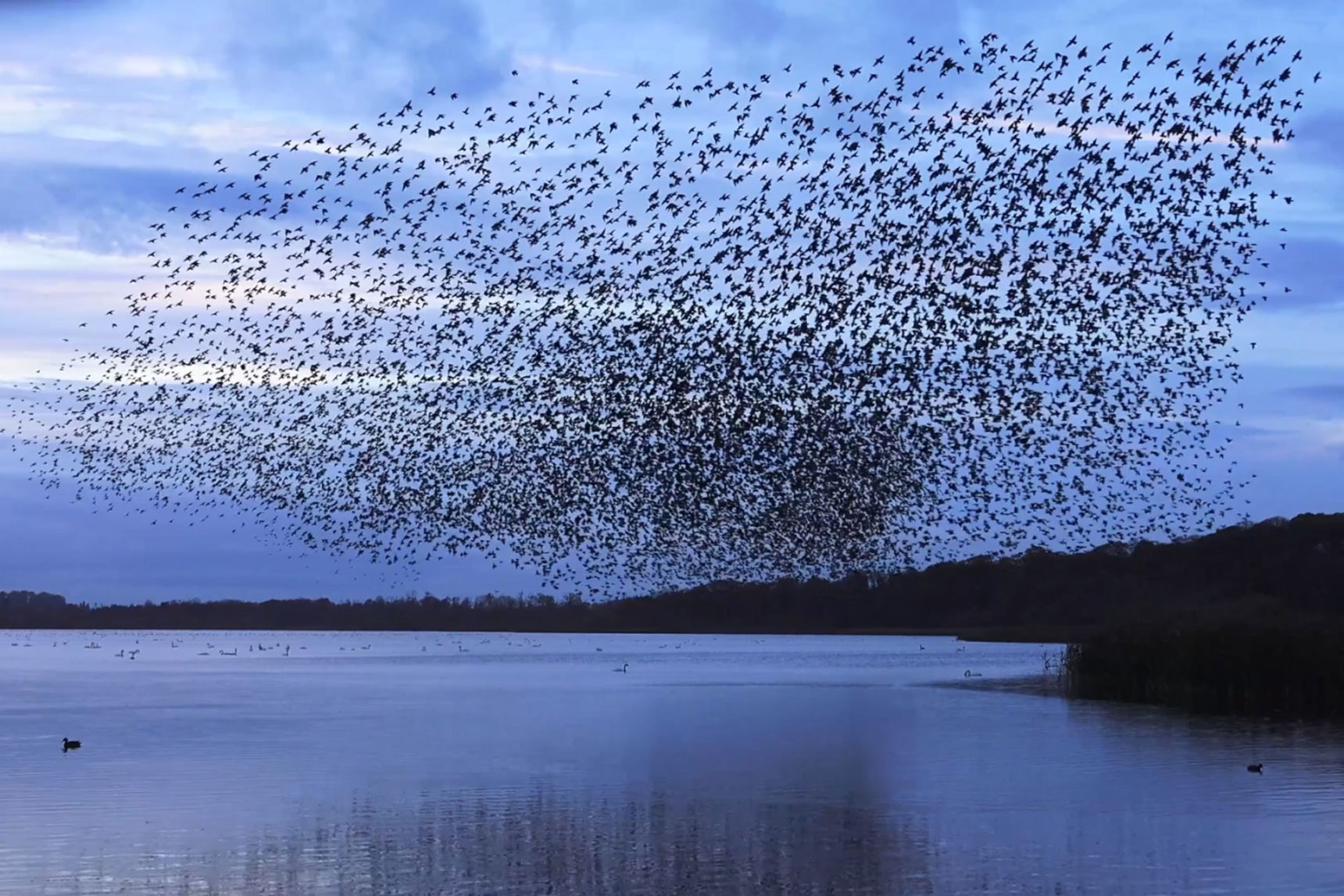Video: A murmuration of starlings exhibits emergent behavior.