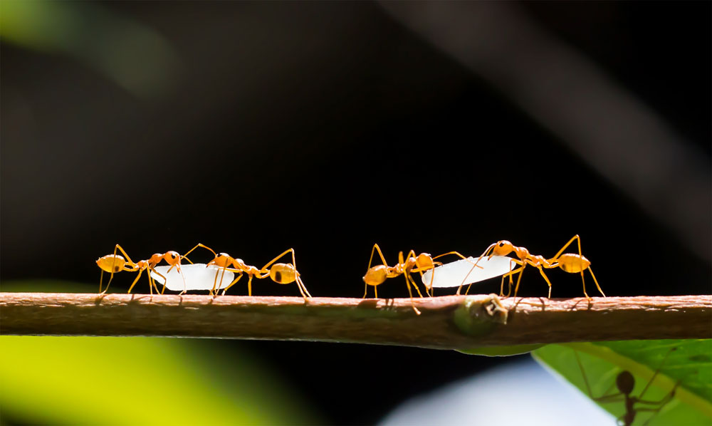 Pairs of fire ants work together to carry grains of rice back to their colony. Cooperative behaviors in ants are rooted in the kin selection advantage that shaped these insects' evolution: The female workers pass more of their own genes to the next generation by supporting their egg-laying mother than by laying eggs of their own.