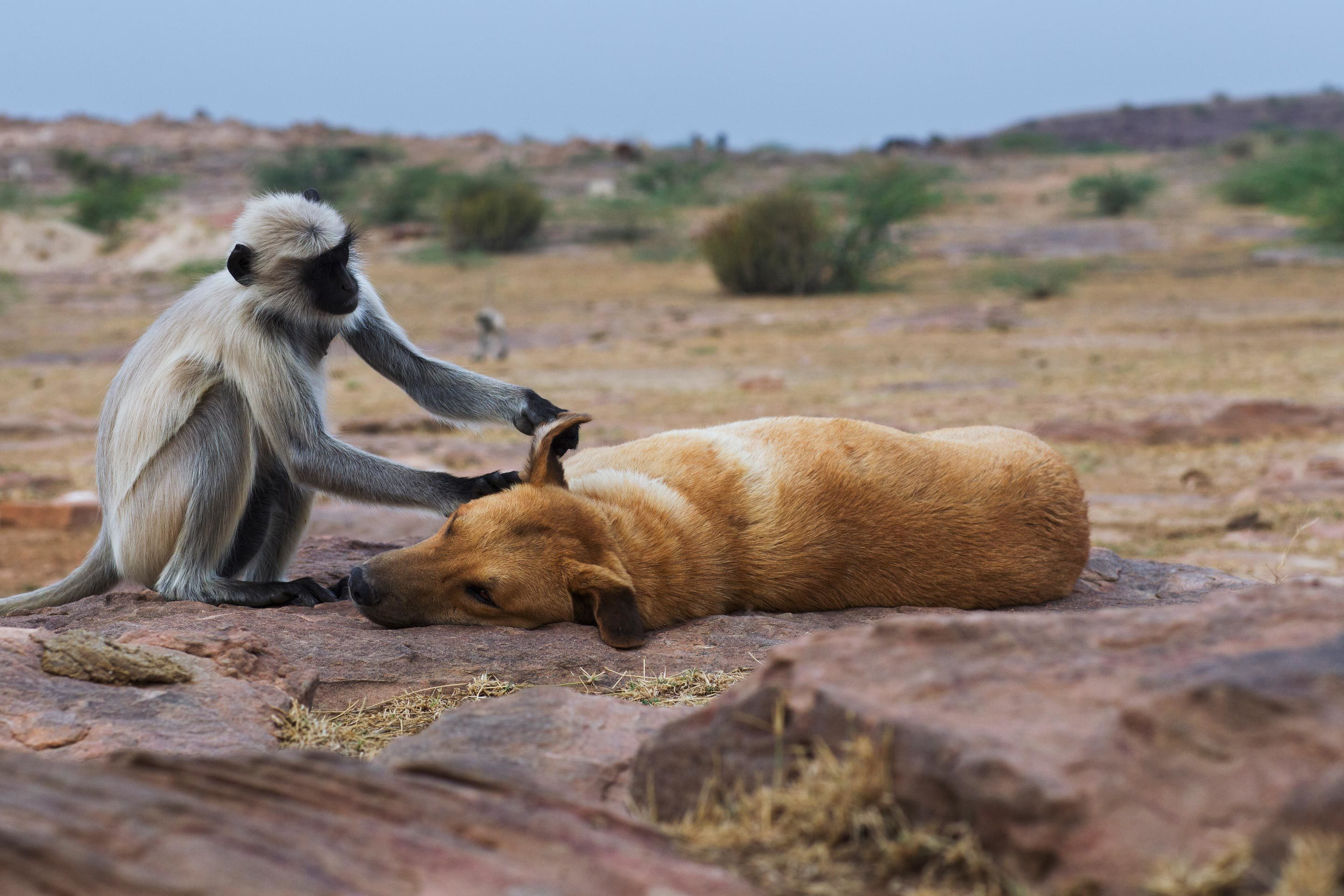 In India, a southern plains gray langur grooms a resting dog. Evolutionary theorists have puzzled over such altruistic behaviors, particularly among unrelated creatures, because selfishness often seems like a better survival strategy in the context of natural selection. A new theory suggests that parasites might tip the odds in favor of host altruism for their own gain.
