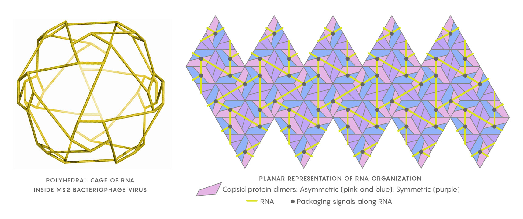 The genomic RNA of the MS2 virus, when close to the capsid shell, arranges itself as a polyhedral cage (at left). In the planar representation at right, the relative positions of the RNA packaging signals (black points) in contact with the capsid's protein building blocks are shown. Twarock uses Hamiltonian paths along segments of the RNA (yellow) to help determine the virus's assembly mechanism.