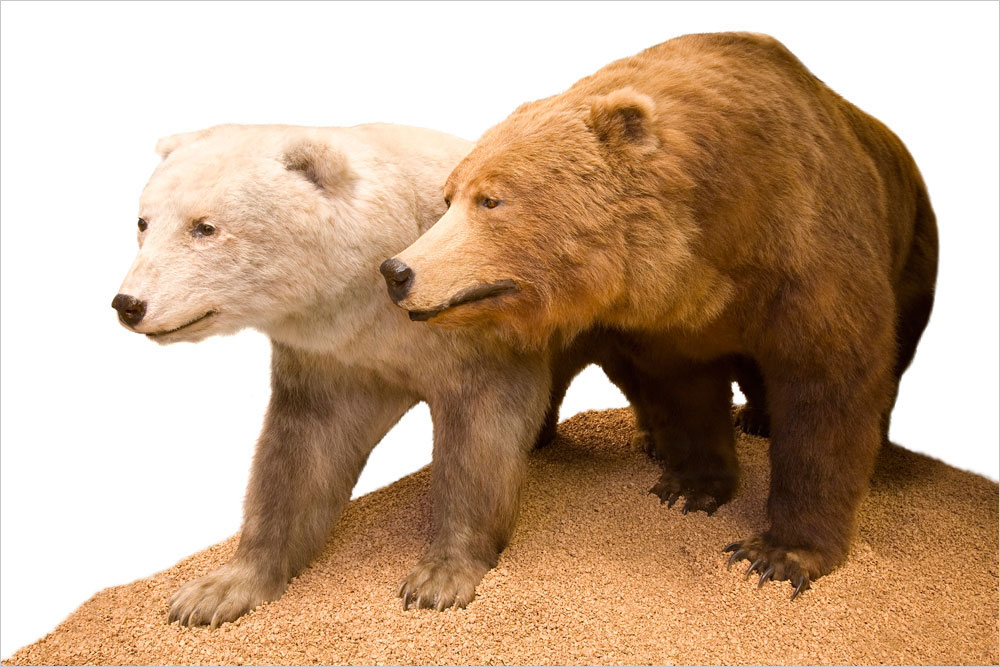 Grizzly-polar bear hybrids, like the one at left in this museum display, are born when grizzly bears mate with polar bears. Such interbreeding is relatively rare but happens often enough to have influenced the genetic heritage of both parental species.