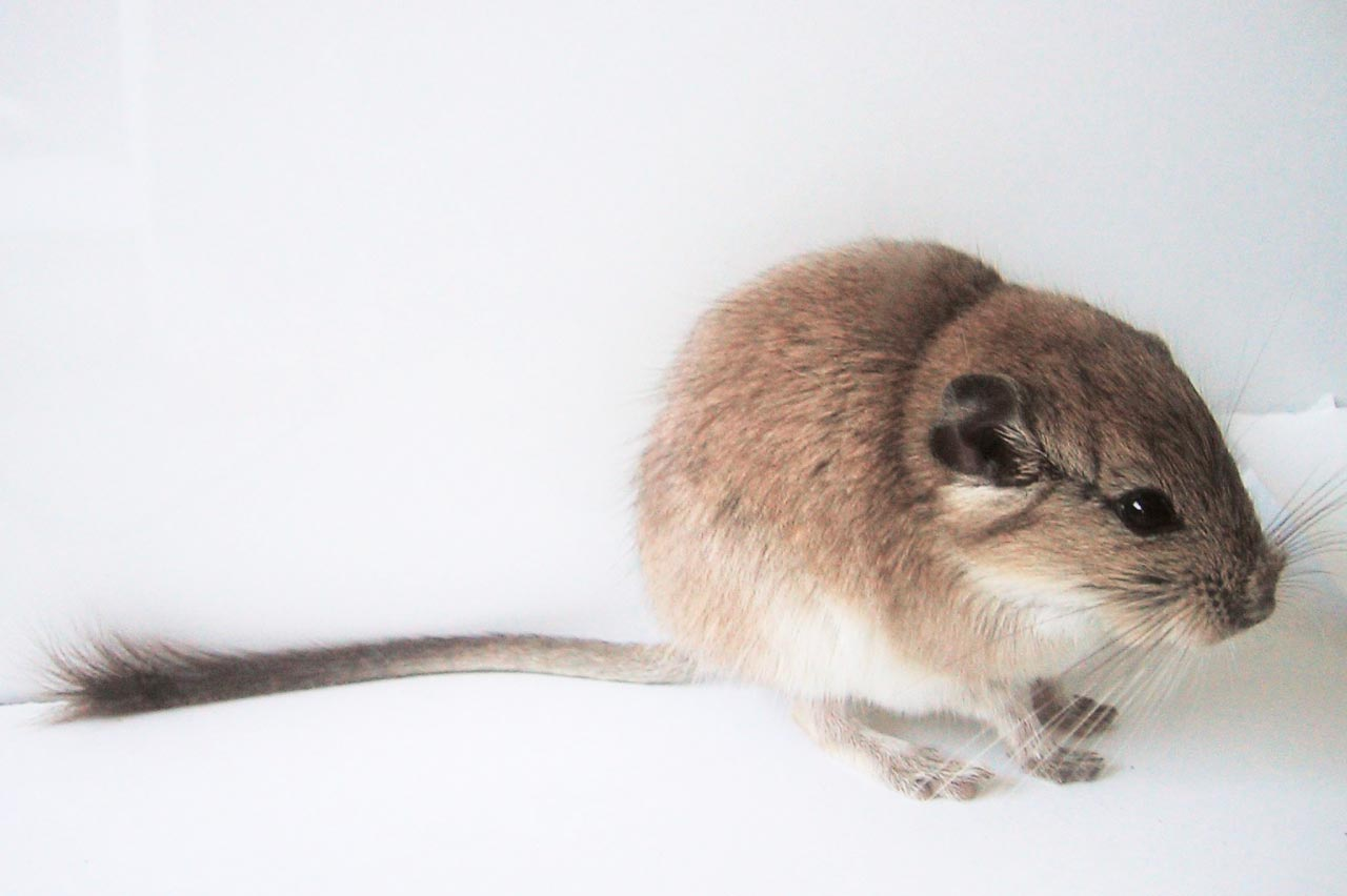 Viscacha rat