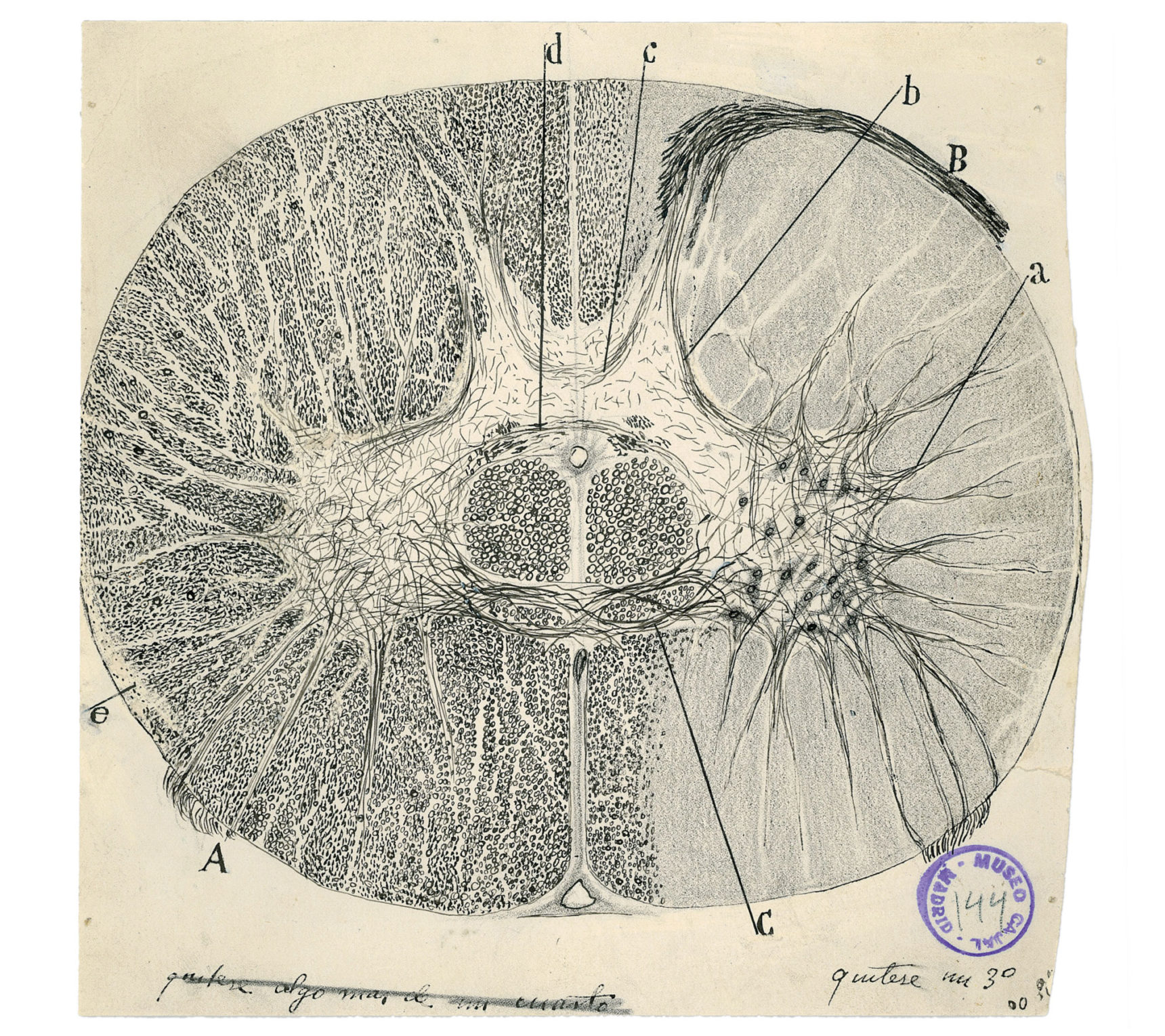 These two graceful depictions of neurons in the spinal cord are extraordinary in their fine detail.