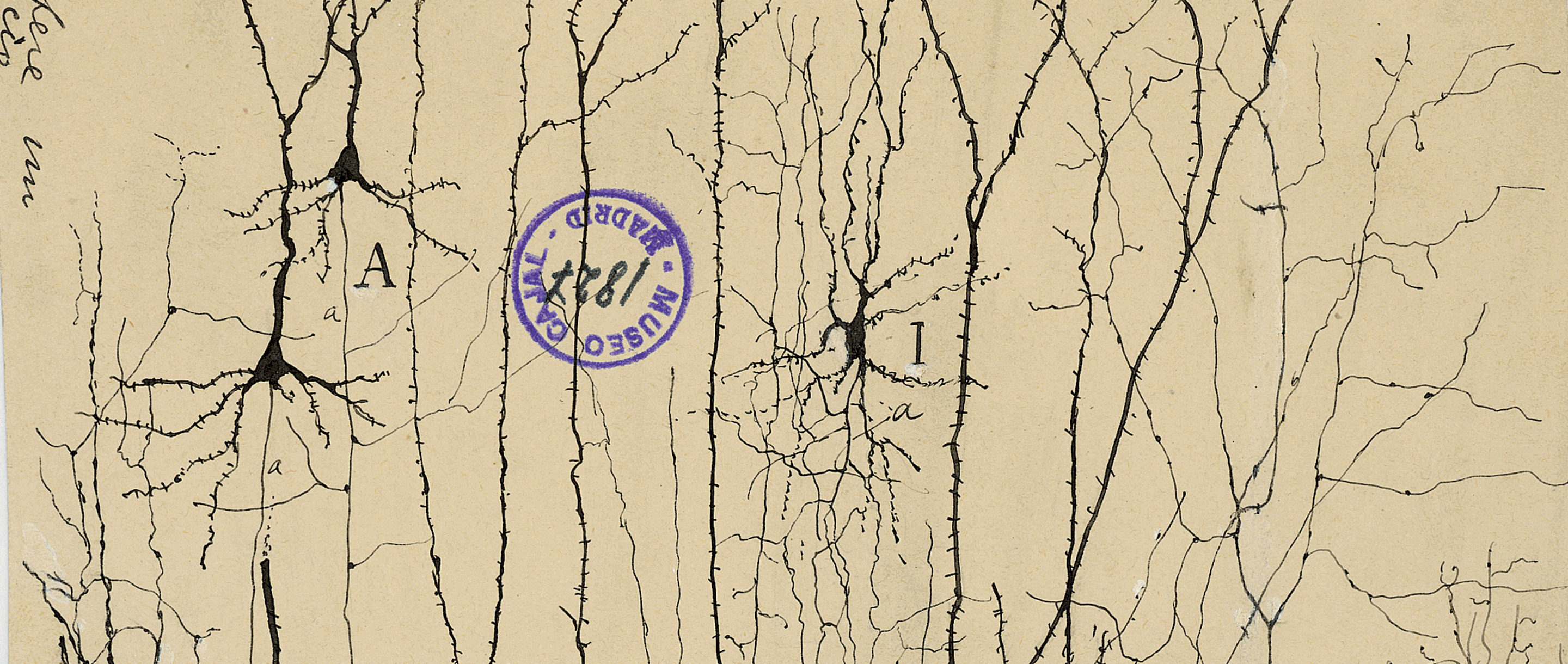 Generations of neuroscientists have wondered why the elegant and historically important drawings of Santiago Ramón y Cajal, the field's founder, are marred by a prominent blue stamp. The answer has finally come to light.
