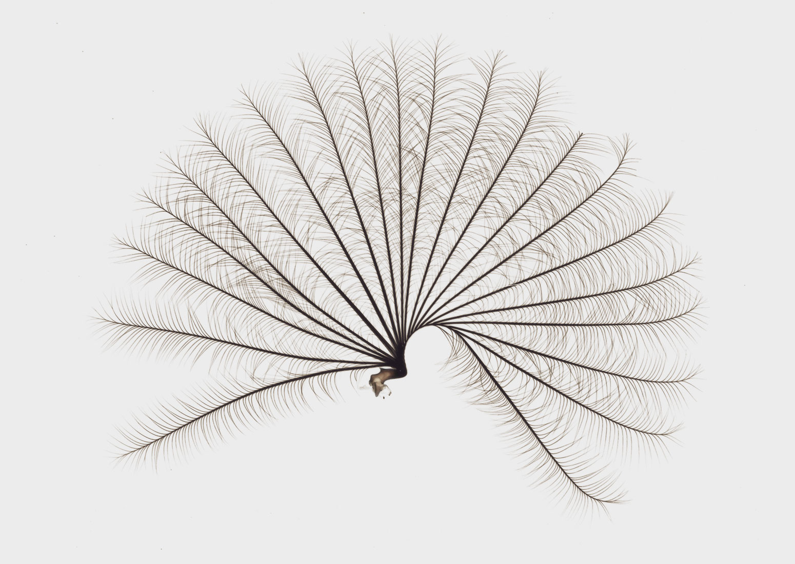 The delicate specialized structure of the water strider genus Rhagovelia looks like a Japanese fan.