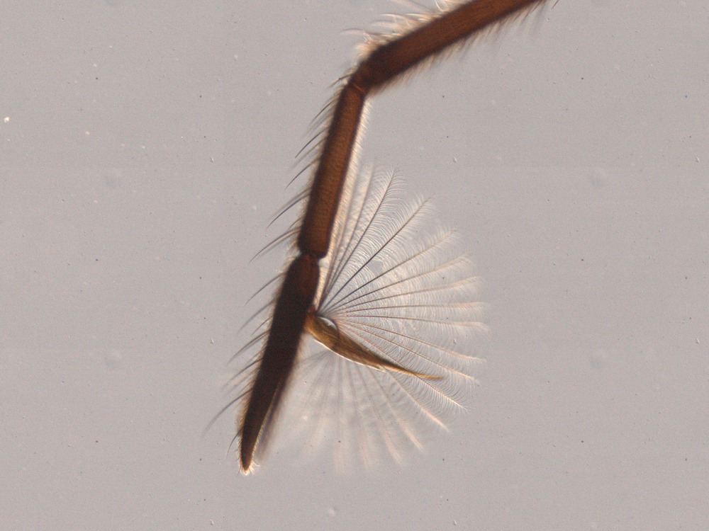The leg of a water strider with the delicate fan next to an image of a water strider leg without one