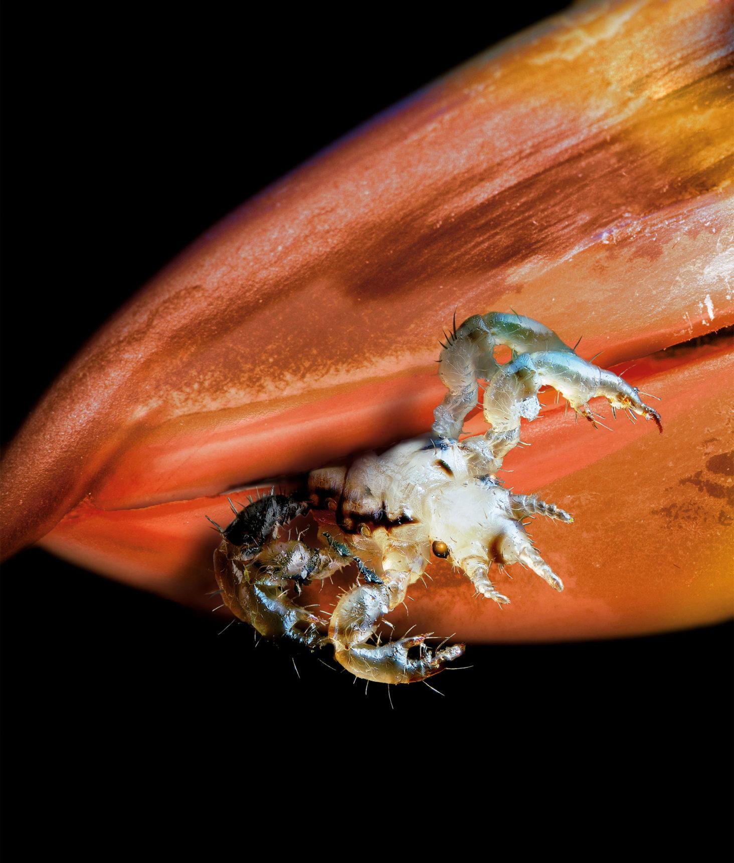 A louse in a bird's beak