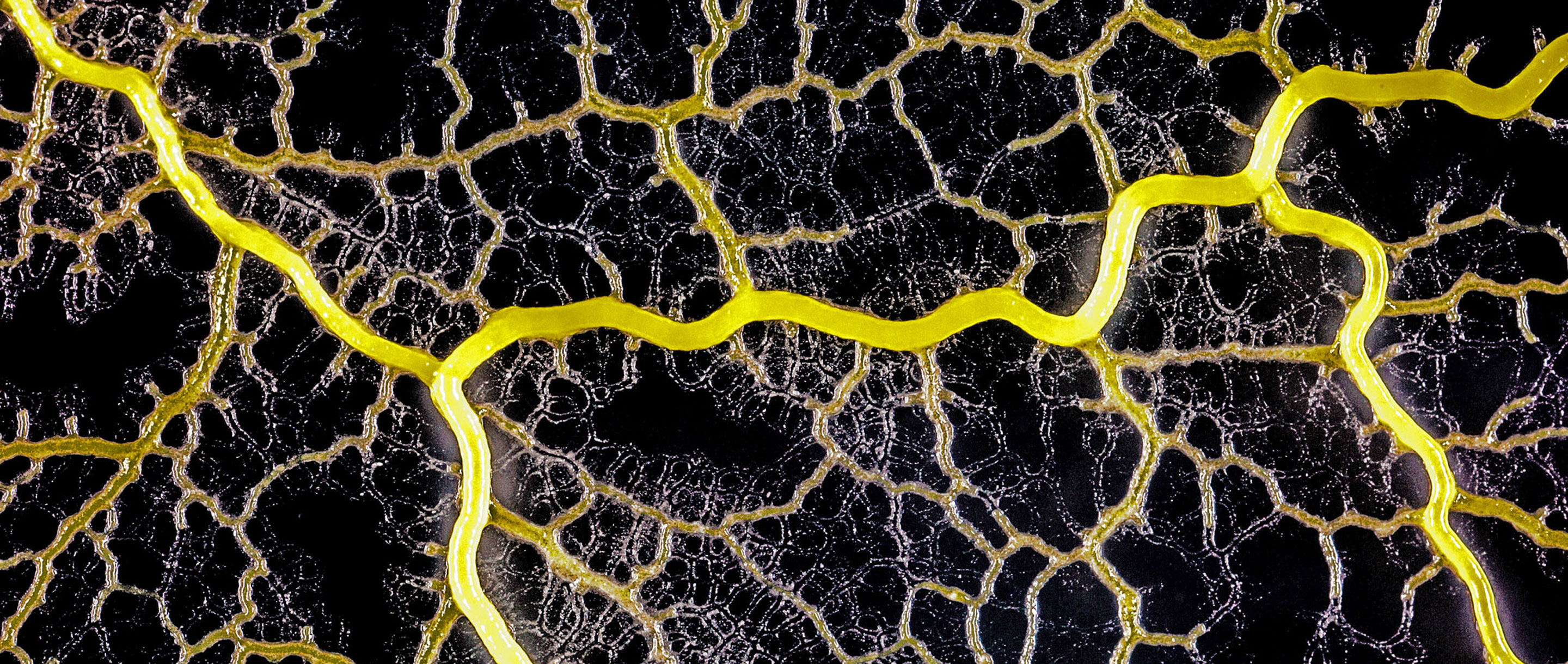 The slime mold Physarum polycephalum forms a network of cytoplasmic veins as it spreads across a surface.