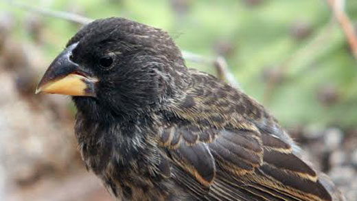 "New finch species ""Big Bird ""(offspring)"