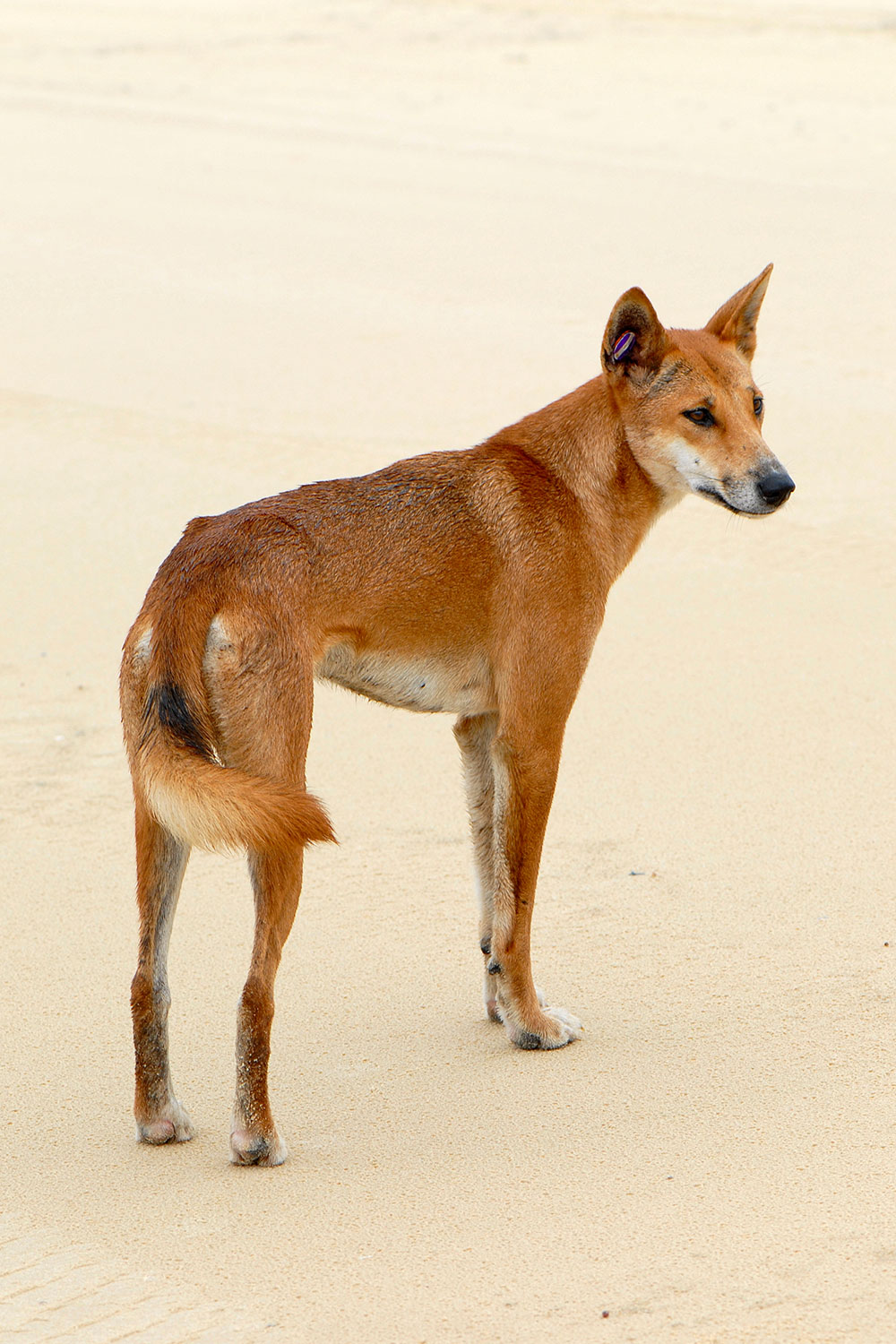 Photo of a dingo