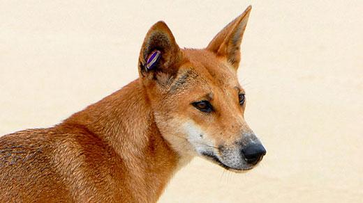 What Food Do Dingo Eat