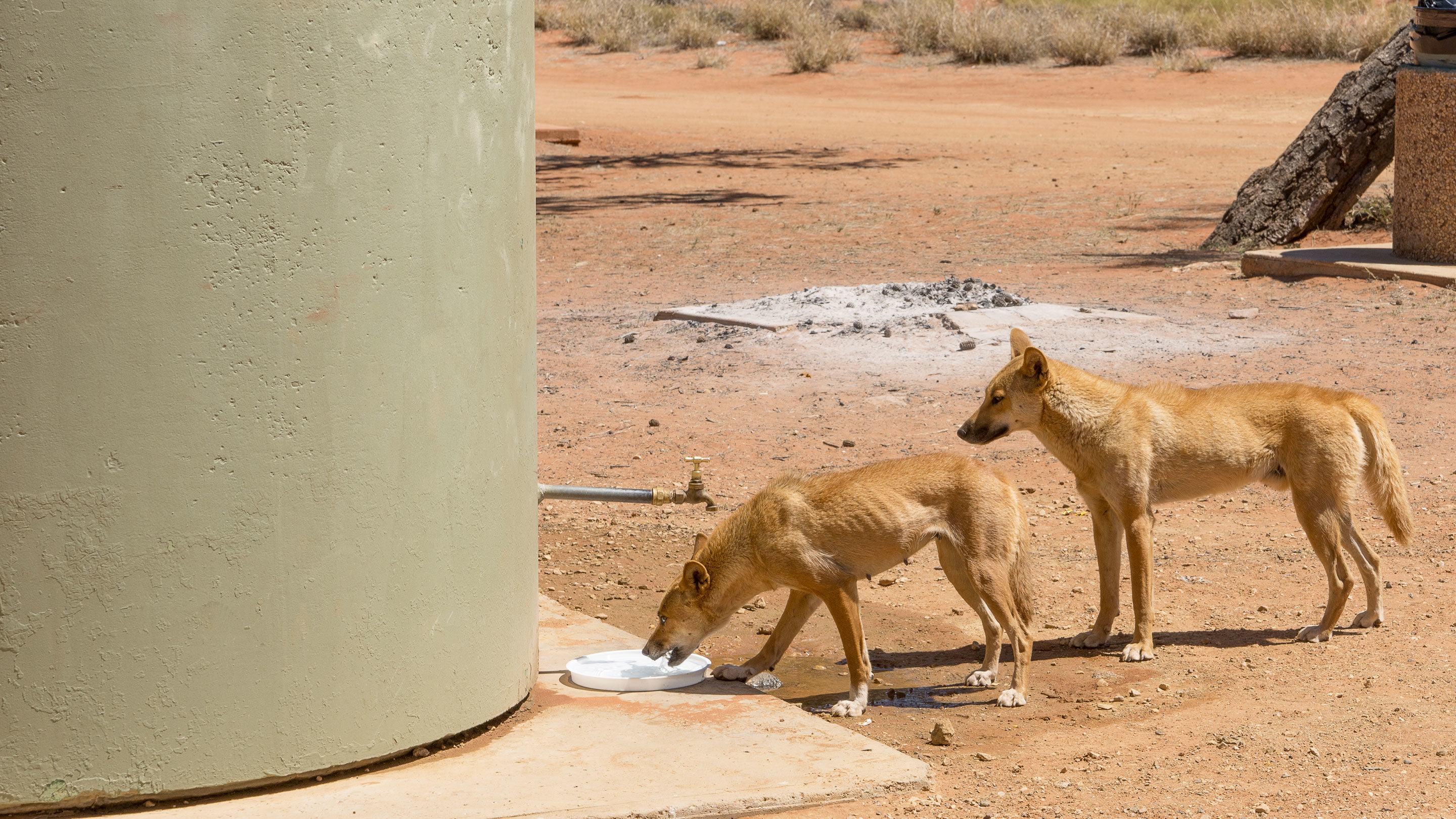 Photo of dingoes drinking from a water tank