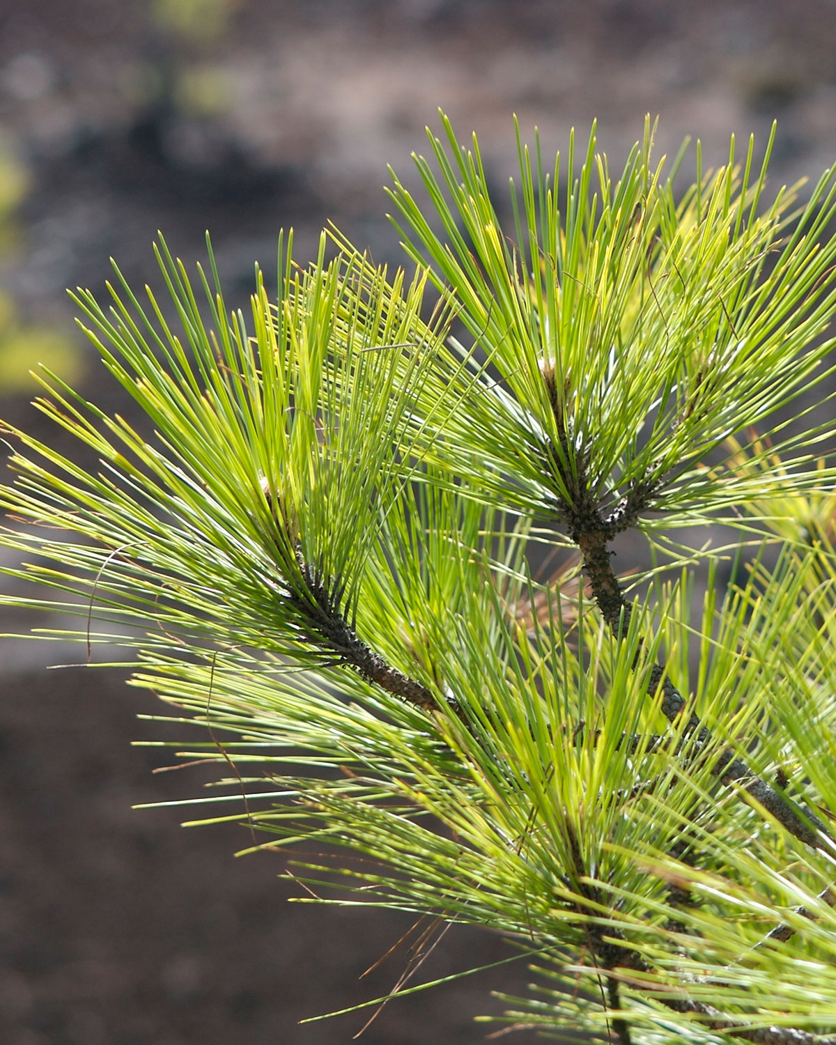 Pinus canariensis, a coniferous gymnosperm endemic to the Canary Islands, has the second-largest genome included in the study.