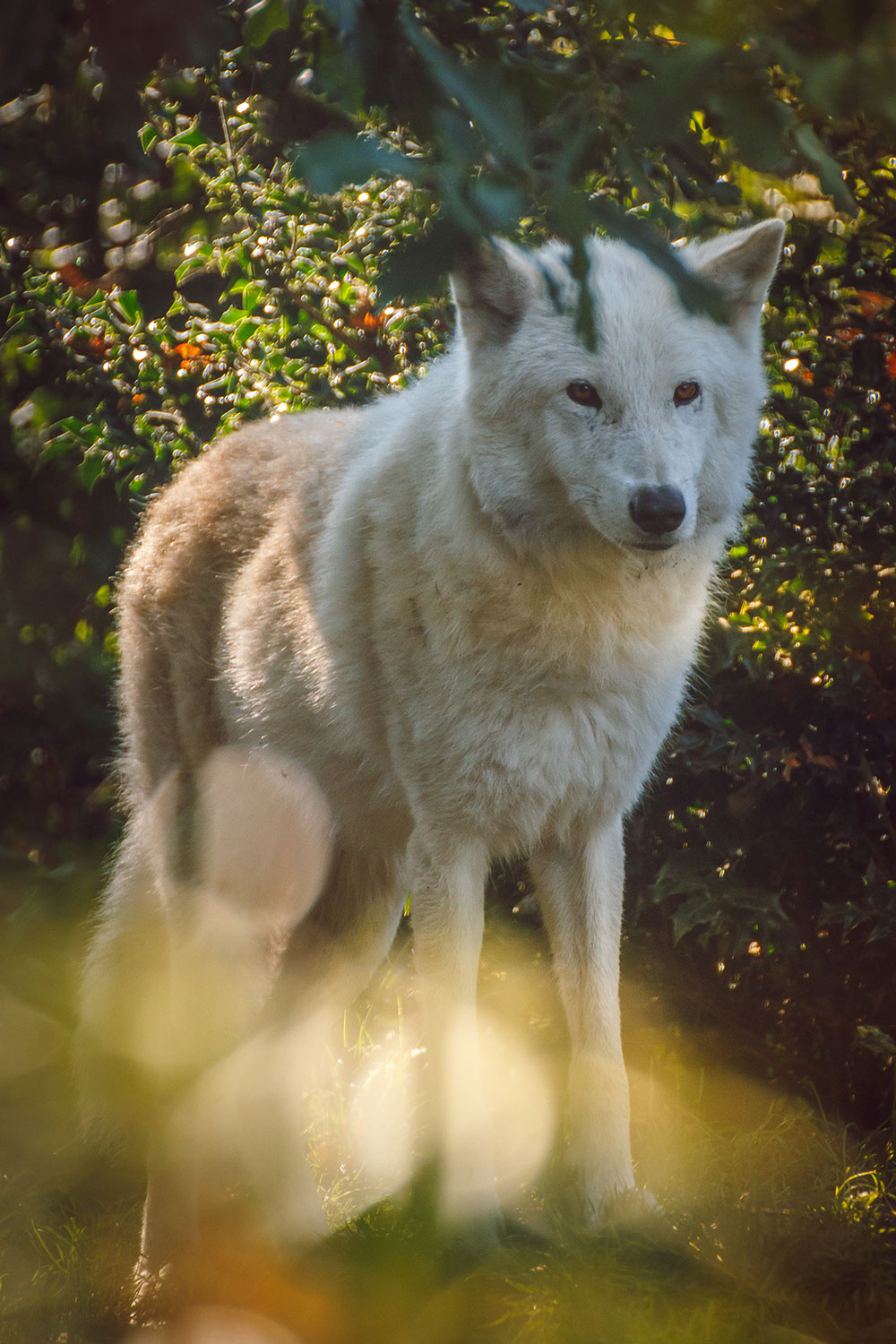 Photo of a white wolf