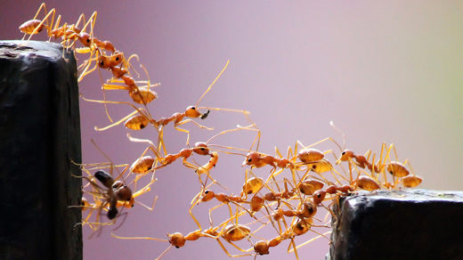 520px photo of army ants forming a bridge