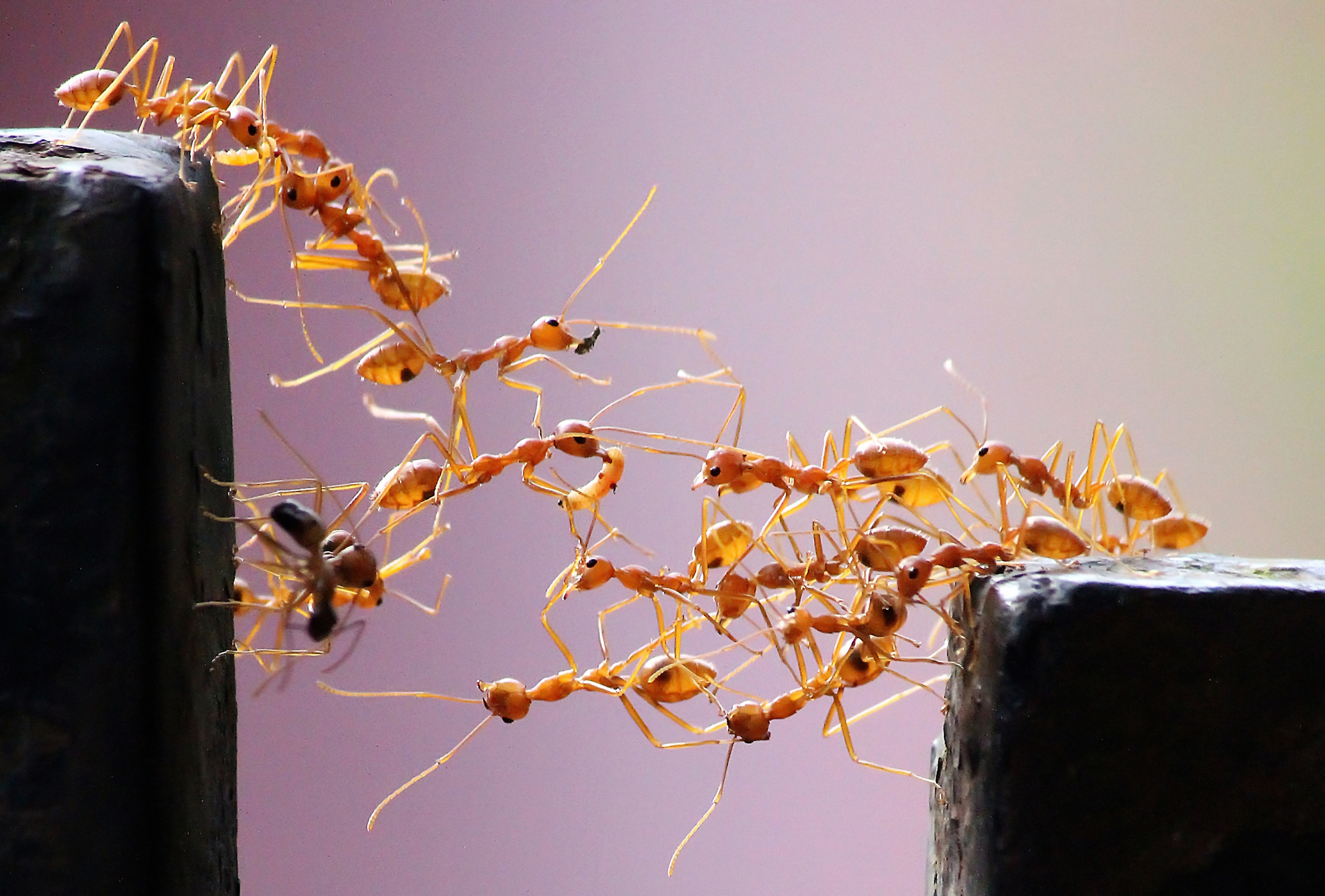 Homepage photo of army ants forming a bridge