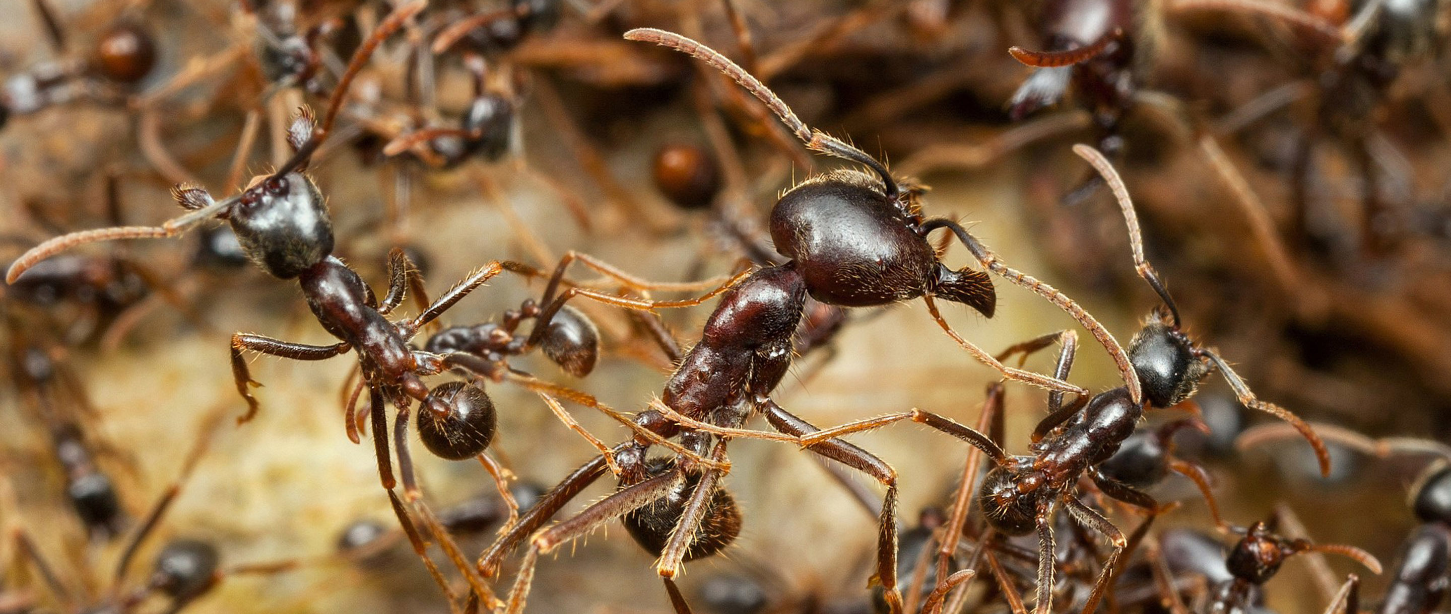 Homepage photo of army ants close up
