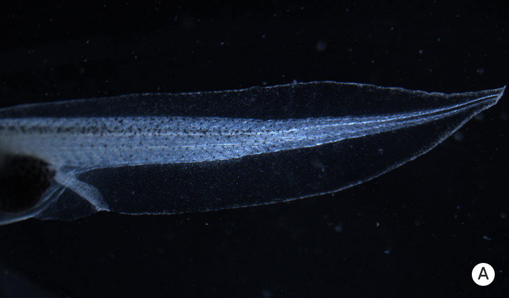 Photo of a normal tadpole tail.