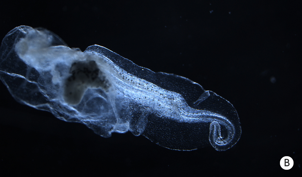 Photo of an abnormal tadpole tail.