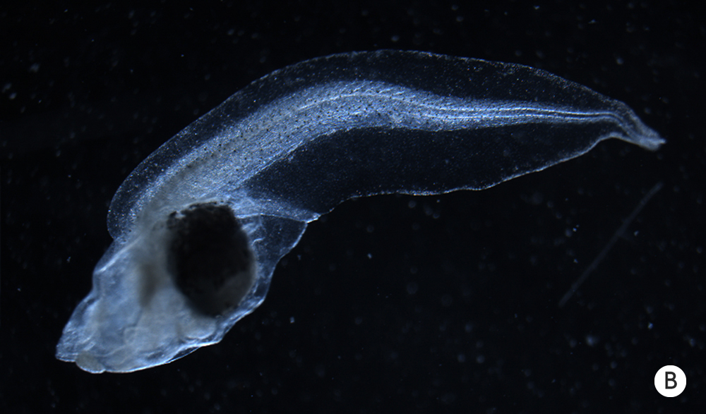 Photo of an abnormal tadpole.